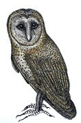 "TAYLOR; ; Barred Owl; ink drawing on paper mounted on wooden cradle, finished with resin; 4"" x 3"" SOLD"