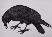"TAYLOR; ; Focused Raven; ink drawing on paper mounted on wooden cradle, finished with resin; 6""x 8"" SOLD"
