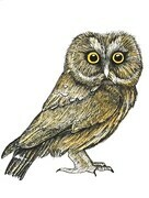TAYLOR, Saw-whet Owl, ink and watercolour SOLD