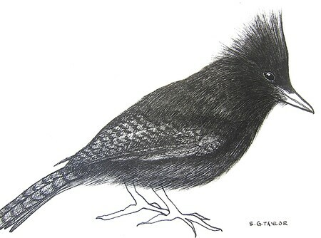 "TAYLOR; ; Steller's Jay; ink drawing on paper mounted on wooden cradle, finished with resin; 3x4"";SOLD"