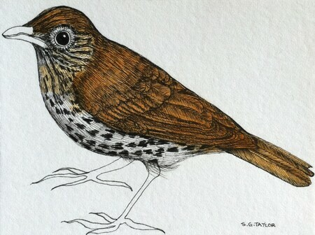 "TAYLOR; Thrush; ink drawing on paper with watercolour, mounted on wooden cradle, finished with resin; 3""x4"" SOLD"